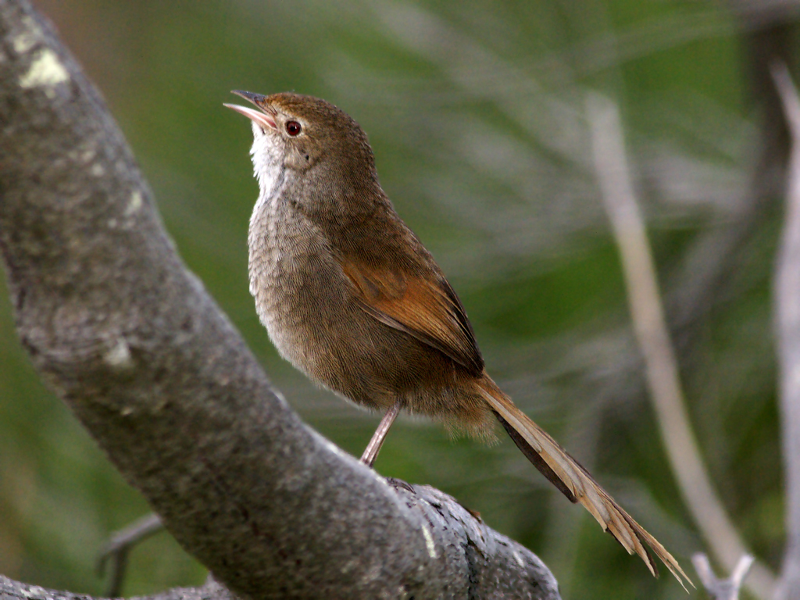 Helping the Eastern Bristlebird