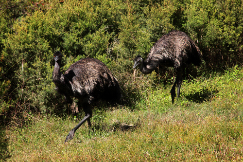 Helping the North Coast Emu - an Endangered Population