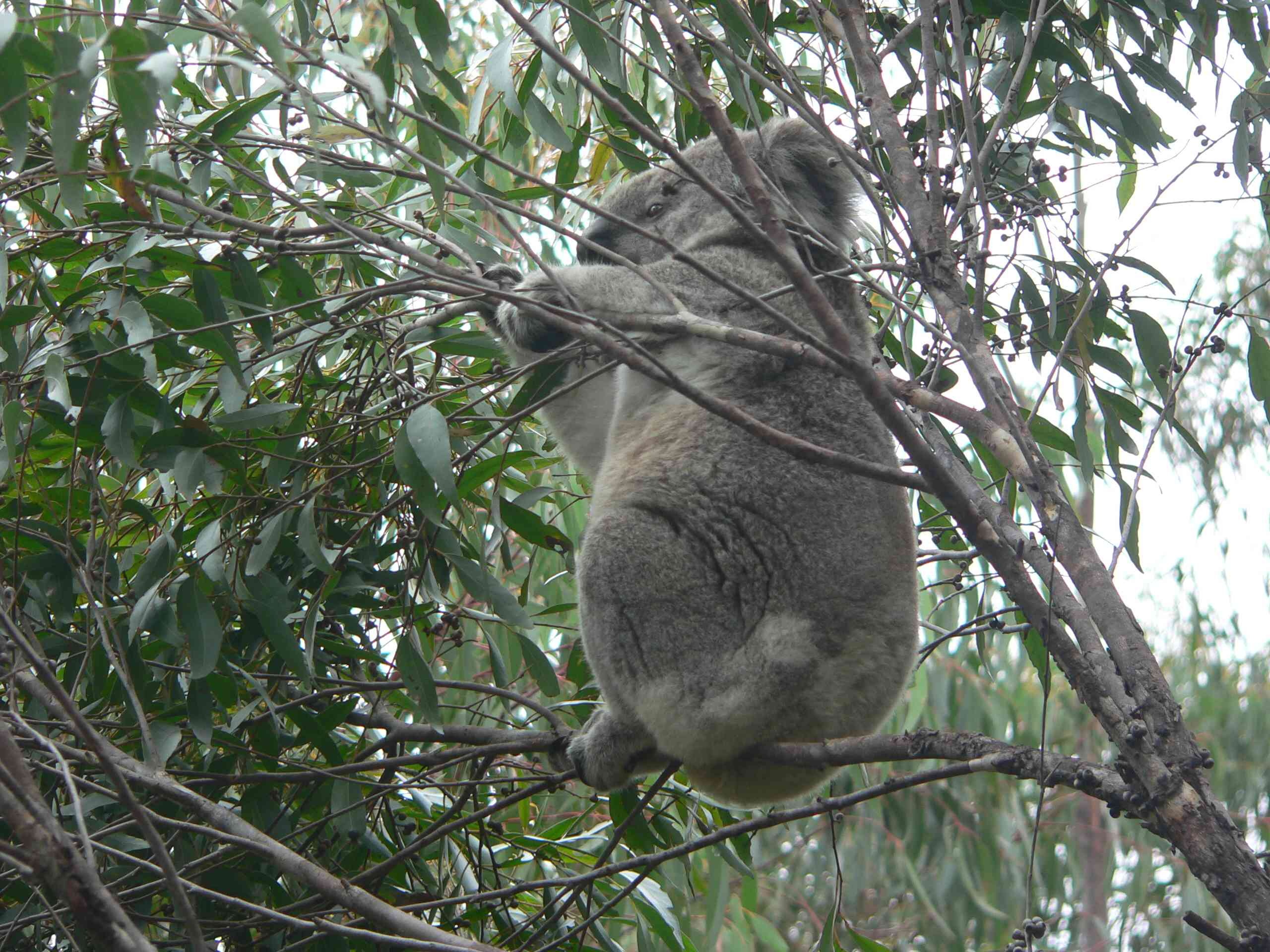 Cooperative koala project - protecting koalas, people and houses from wildfire